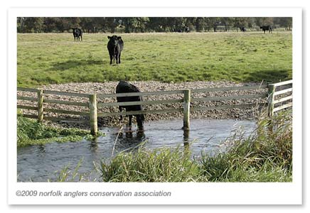 Photo 2: Example of cattle drink at Bintry on the River Wensum